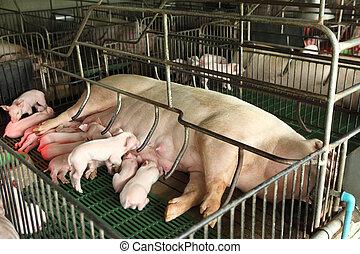 recién nacido, cerdos, alimentación