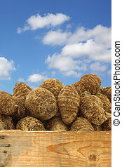 新鮮, 芋頭, 根, (colocasia)