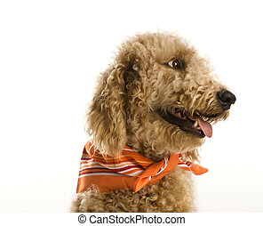 Goldendoodle dog wearing bandana.