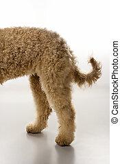 Goldendoodle dog hindquarters.
