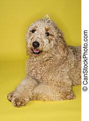 Goldendoodle dog wearing tiara.
