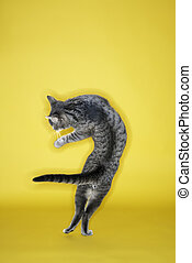 Gray cat twisting in air. - Gray striped cat twisting in air...