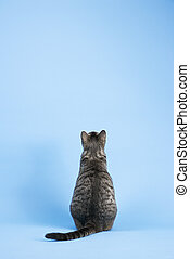 Back view of gray cat. - Back view of gray striped cat...