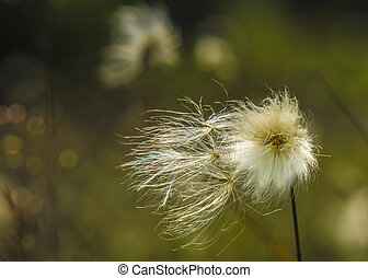common cotton grass - Eriophorum angustifolium common cotton...