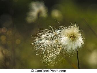 common cotton grass - Eriophorum angustifolium / common...