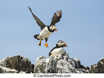 atlantic puffin fratercula arctica - common puffin, atlantic...