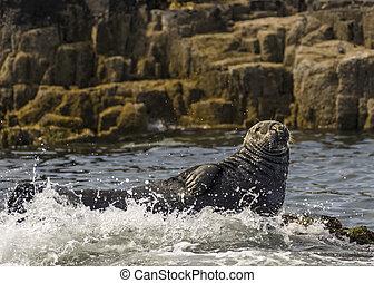 Grey Seal / Gray Seal / Halichoerus - Seal Basking
