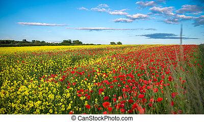 Poppies in Rape Seed Field