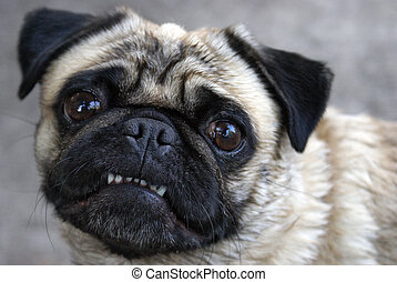Pug Showing Teeth - A pug shows her teeth for the camera in...
