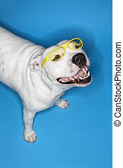 White dog on blue background - White Pit Bull dog on blue...