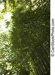 Bamboo in Maui, Hawaii. - Low angle view looking up at...