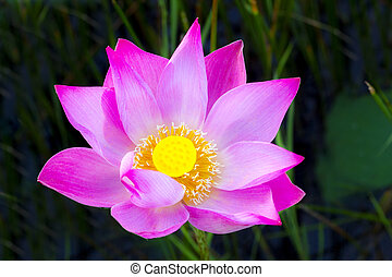 lotus flower - beautiful lotus flower with vibrance color