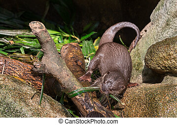Asian small-clawered otter