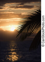 Palm at sunset in Maui. - Palm leaf silhouette against...