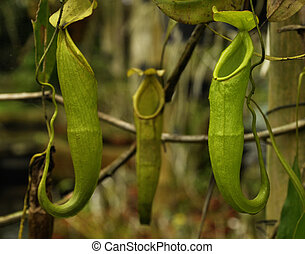 Pitcher plant (Nepenthes)