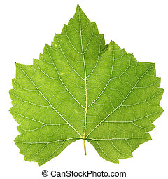 Vine leaf - Green vine leaf isolated on white background