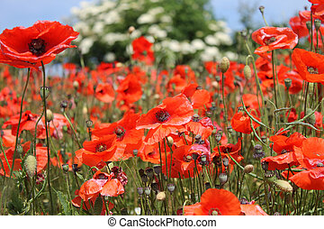 Red poppy flowers in bloom - Background of beautiful red...