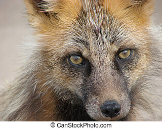 fox - On June, 29th, 2007 Island Urup, Russia A curious...