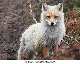 fox - 2007 on July, 04th Russia island Urup, old grey-haired...