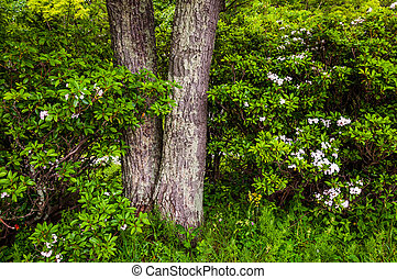 Tree and mountain laurel in Shenandoah National Park,...