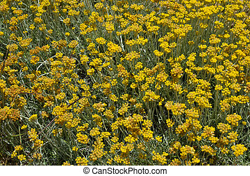 Helichrysum stoechas in bloom. - Helichrysum stoechas in...