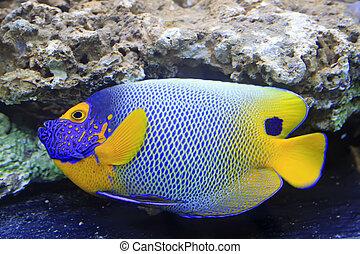 blue tang, marine coral fish