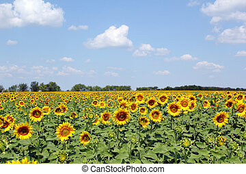 sunflowers field and blue sky landscape