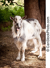 Male goat - Portrait of the male goat on a farm
