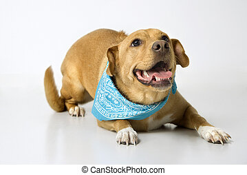 Playful dog wearing bandana. - Dog looking playful.