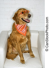 Dog wearing sunglasses and bandana. - Golden Retriever dog...