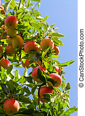 Apples on tree - Organic ripe apples ready to pick on tree...