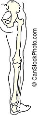 Leg bones, detailed illustration