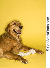 Golden Retriever dog with bone. - Golden Retriever dog with...