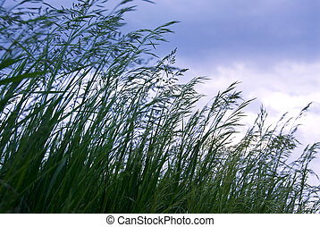 Grass with seeds - Seeding tall green grass closeup against...