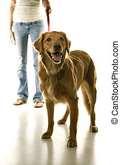 Dog on leash with girl - Golden Retriever dog on leash with...