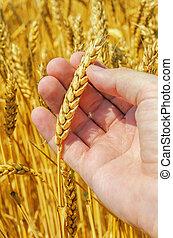 golden harvest in hand