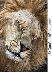 Barbary lion (Panthera leo leo) - Portrait of a Barbary lion...