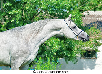 purebred gray Arabian stallion