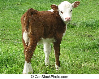 Hereford calf 1 - A calf of the Hereford cattle breed