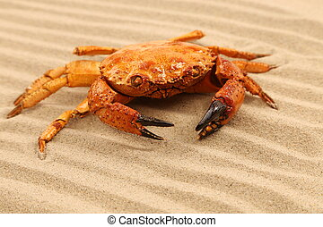 One crab is located on sandy background
