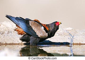 Bateleur eagle drinking water - Kalahari Desert