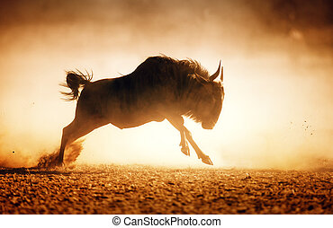 Blue wildebeest running in dust - Kalahari desert - South...