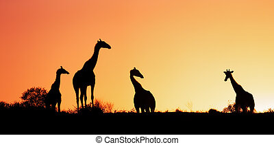 Giraffes silhouetted against sunrise - Kalahari desert -...