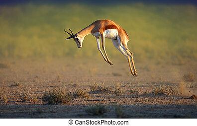 Running Springbok jumping high - Antidorcas Marsupialis -...