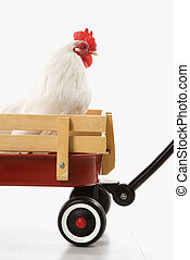White rooster in red wagon - Old English Bantam Rooster in...