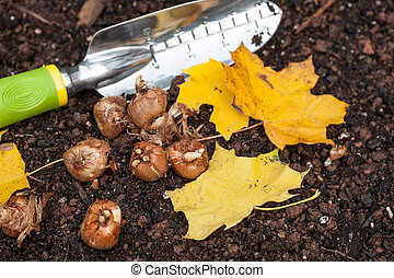 Planting Crocus - Crocus bulbs ready to plant in the fall...