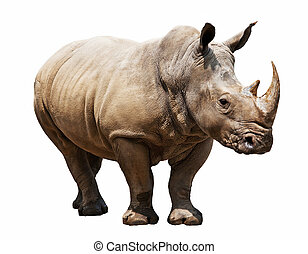 rhino on white background - huge rhino isolated on white