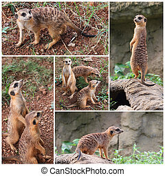 meerkat - the meerkat or suricate, suricata suricatta, is a...