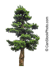 yew podocarpus with white background,buddhist pine is highly...