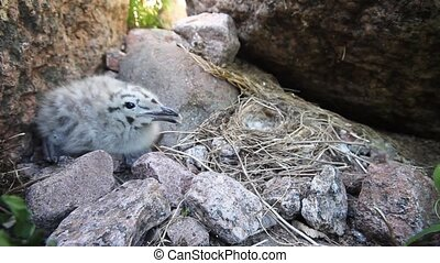 chick of a Bleck-headed gull  and nest of a white wagtail